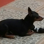 Prosthetic for Animals